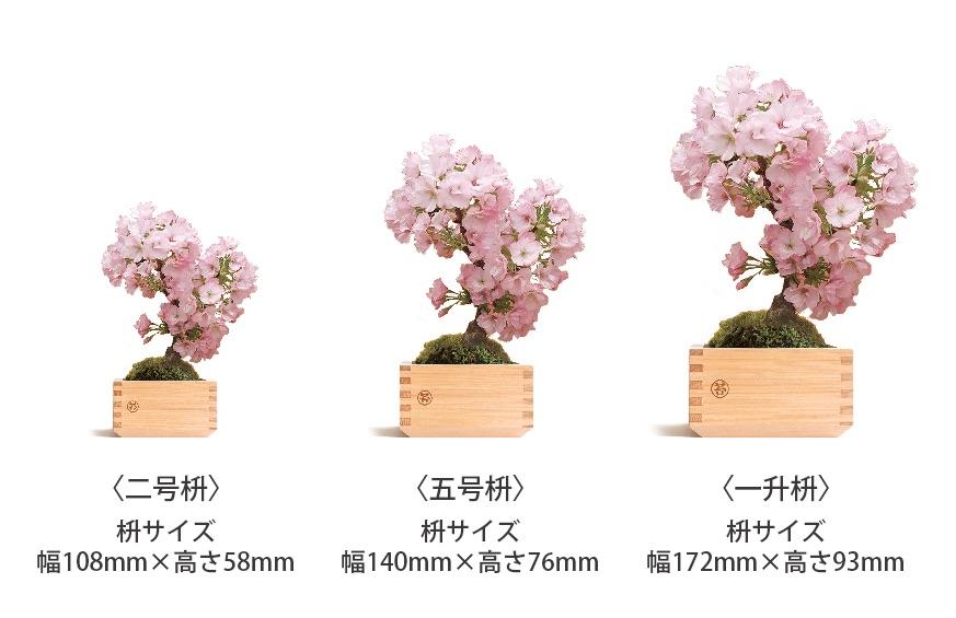 旭山桜3種